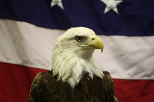 Because there's nothing more 'Murican than the Bald Eagle. Creative Commons